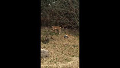 Man Caught By Tigers