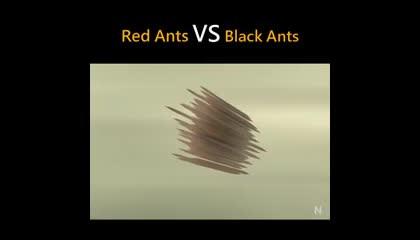 Red Ants Vs Black Ants   Nice Animation