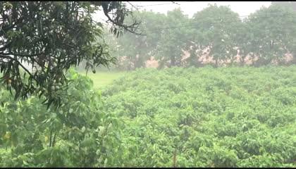 Beautiful view of Rain and Mangoes
