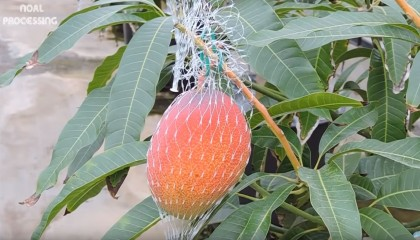 Most Expensive Mango In The World.