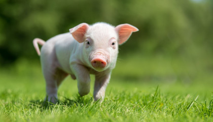 PIG  Animals For Kids