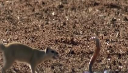 King Cobra Vs Mongoose