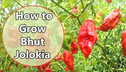 growing bhut jolokia | Cultivate Bhut Jolokia Pepper | Growing Ghost pepper