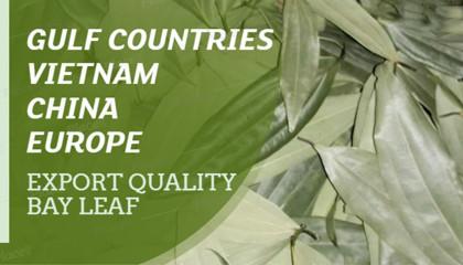 bay leaves china   bay leaves uae   bay leaf price europe   tej patta   तेजपत्ता