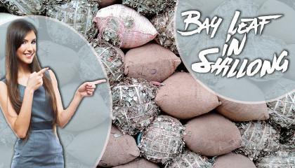 Bay Leaf in Shillong tej patta price in Shillong Bay leaf Price at Meghalaya