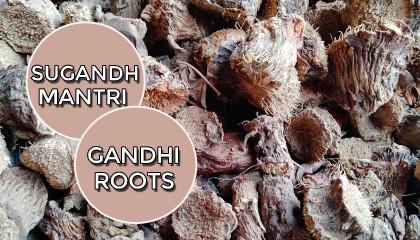 sugandh mantri price  sugandh mantri root  gandhi roots  dried sugandh mantri root