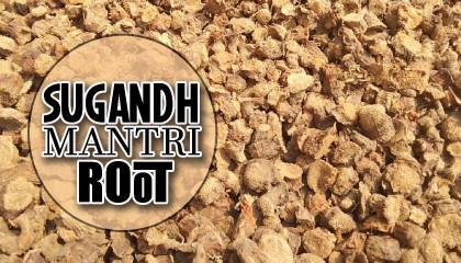 sugandh mantri root  sugandh mantri root  gandhi roots  dry sugandh mantri price