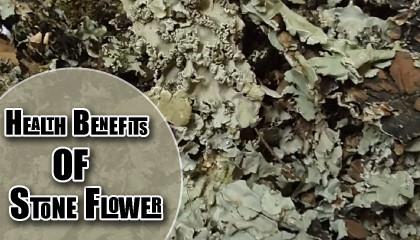 dagad phool benefits stone flower benefits Ayurvedic Benefits of Kalpasi