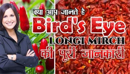 longi mirch  dhani mirchi  bird's eye chili  supplier