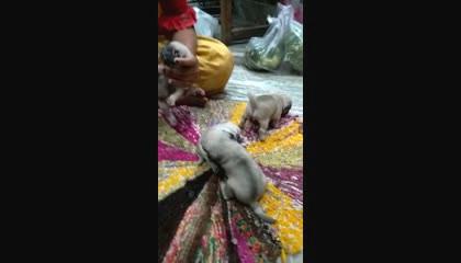 pug  puppy  pets  dog