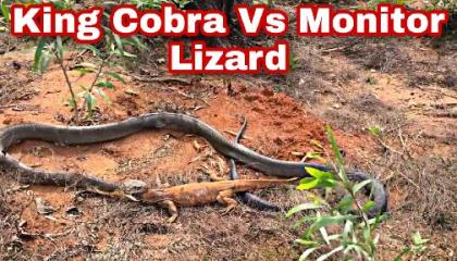King Cobra Feeding on Monitor Lizard