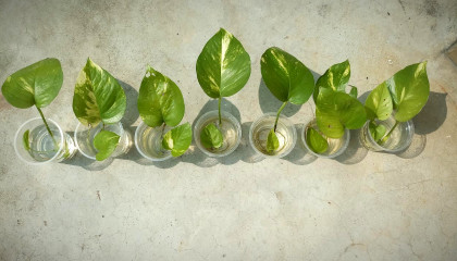 How to propagate money plant in single leaf