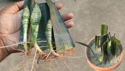 Snake Plant Propagation  Snake Plant Propagation By Leaf Cutting With Full