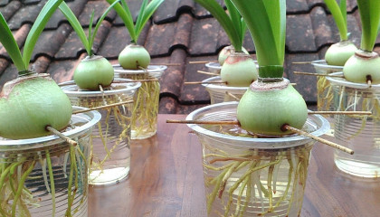 Grow Amaryllis in Water with Plastic Cups