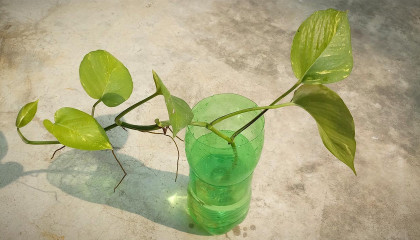 How to propagate money plant