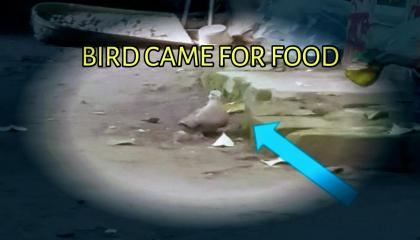Bird came for food bharat pathik wild pigeon nice bird