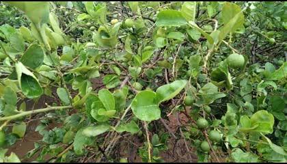 Lemon Tree  Beautiful Lemon Tree. lemon lemontree leafs nature