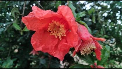 Pomegranate Flowers  Beautiful Flowers  Indian Pomegranate Flowers. pomegranate flowers nature naturelovers
