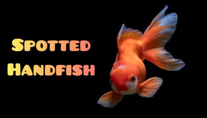Spotted Handfish In Hindi !! स्पॉटेड हैंडफिश हिन्दी में  Intelligent Fact