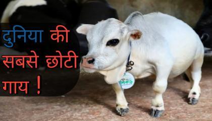 The smallest cow in the World. दुनिया की सबसे छोटी गाय  Curiosity Ki Duniya