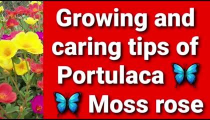 Portulaca   Purslane  Moss rose  9' o'clock  Growing and caring tips in hindi