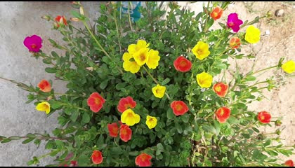 Portulaca growing and caring in English