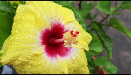 Hibiscus plant and its verity Part -1