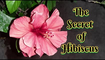 The secret of hibiscus plant and flowers