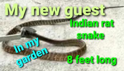 The unwanted guest in my garden  Indian rat snake  8 feet long