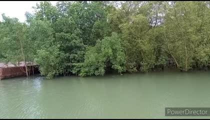 mangroves of andaman