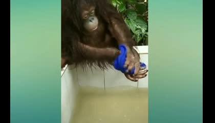 Gorilla playing in water