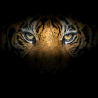 Tiger's Series