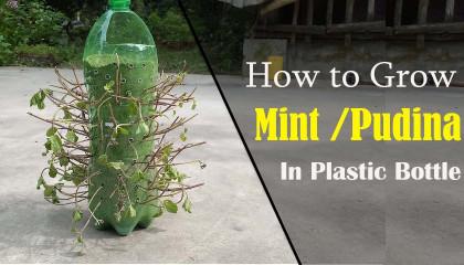 Grow Mint With Plastic Bottle  ফেলে দেওয়া প্লাস্টিকের বোতলে পুদিনা গাছ
