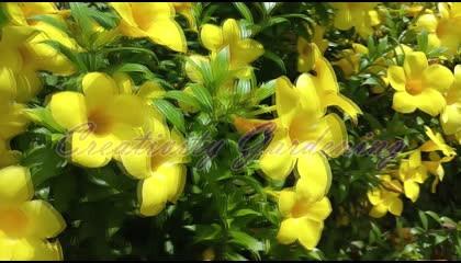 Thousand Of Allamanda Flower