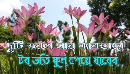 Rain Lily Plant Care  দুটি তরল সারের ব্যবহারে টব ভর্তি ফুল
