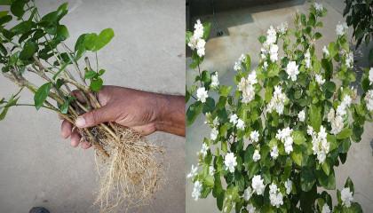 How To Grow Beli (Jasmine) Plant From Cutting