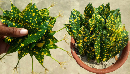 How To Make The Leaves Root  Croton Plant With Leaves  How To Propagate