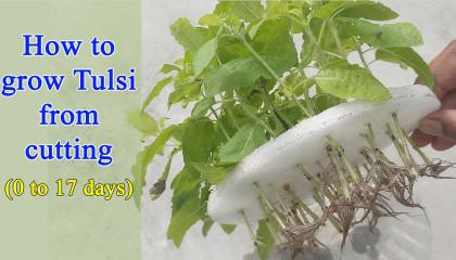How to grow Tulsi plant from cuttings  তুলসী গাছের কচি ডাল থেকে চারা তৈরি
