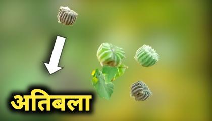 अतिबला एक अद्भुत वनस्पती व तिचे औषधी फायदे.Natkar TV
