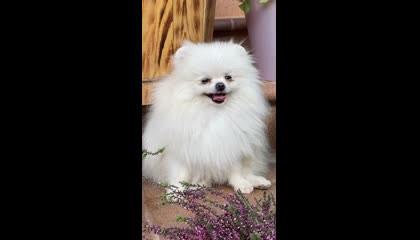 White Dog Video